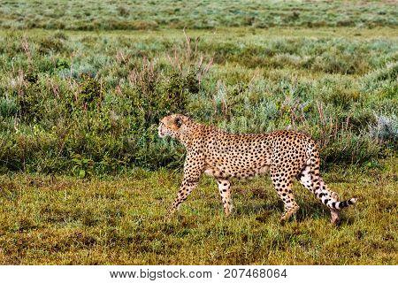 The cheetah hunting. Ndutu, Serengeti, Tanzania. Eastest Africa