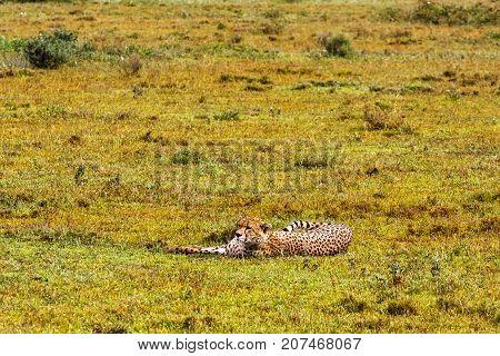 Cheetah resting. Savanna of Serengeti, Tanzania. Africa