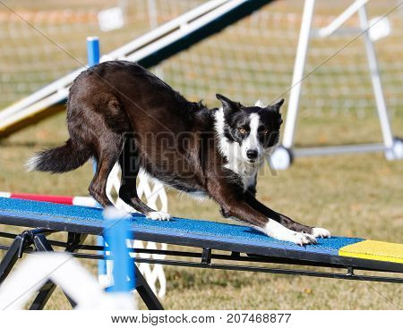 Border Collie on the teeter totter at agility