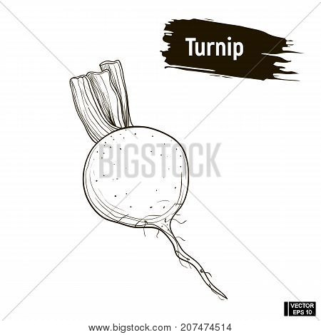 Outline Drawing Of Turnip Sketch