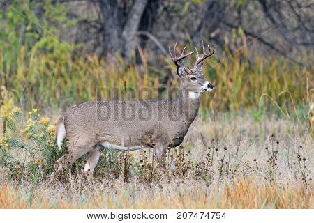White-tailed deer Buck surveying the countryside on an Autumn morning.