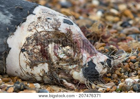 Seal corpse. Close up of the rotting head of a dead marine mammal. Face of a killed seal with flies