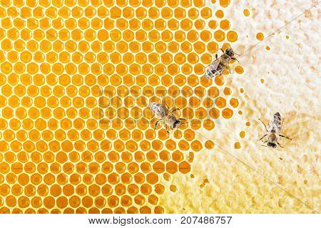 Sealed honeycombs. Bees crawl on honeycomb