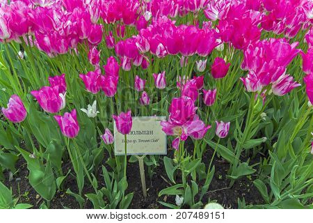 Tulips Of The Dream Club Species.