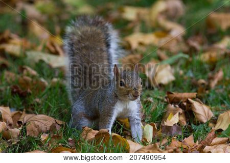 Grey squirrel in autumn park, telephoto, horizontal shot
