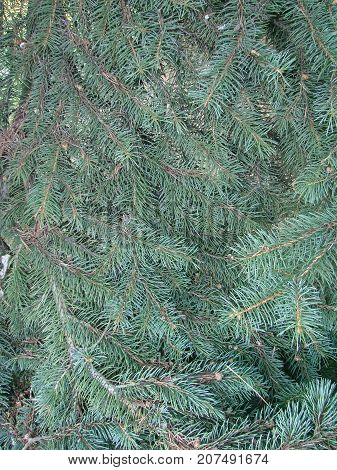Natural Old Christmas Tree Wood Texture Pattern Or Christmas Tree Background For Design With Copy Sp