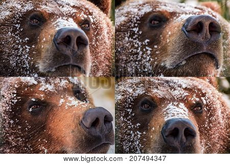 emotions collage of brown bear muzzle in snow. curious angry proud and wily look of an animal. focus on eyes or nose