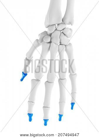3d rendered medically accurate illustration of the distal phalanges