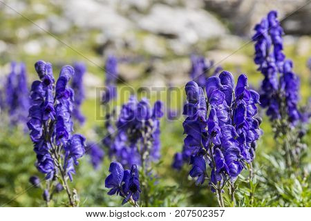 Close-up image of violet high altitude wildflowers (Aconitum napellus) against a rocky background in the Cirque de Troumouse Pyrenees National Park France