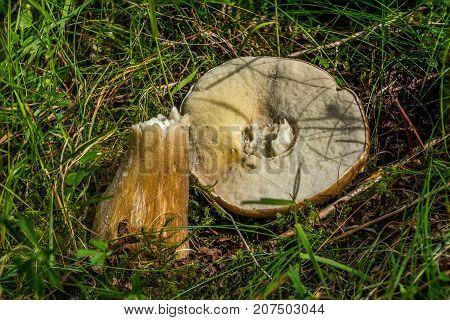 A Cep or Boletus Edulus amongst grass.