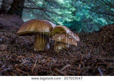 A Cep or Boletus Edulus group on the forest floor.