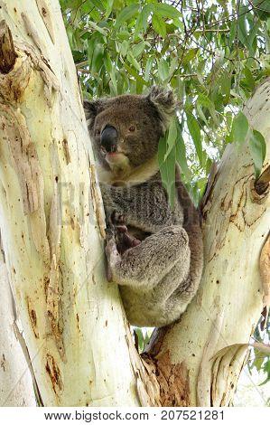 Koala in a Eucalyptus gum tree native marsupial animal in Australian bush