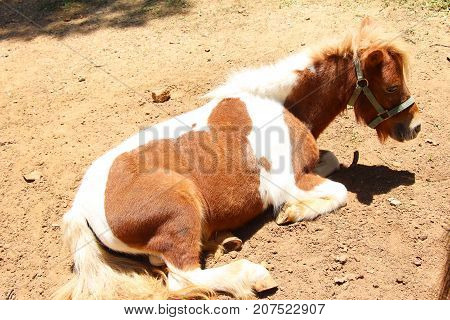 Dwarf horse in farm with the nature