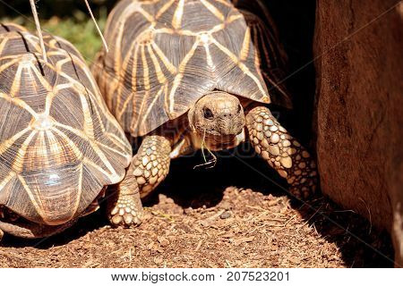 Burmese Star Tortoise Geochelone Platynota