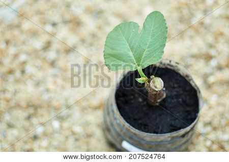 Preparation Of Fig