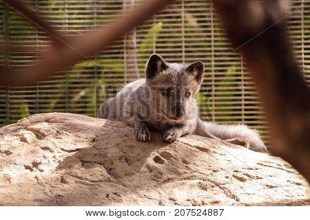 Arctic Fox Vulpes Lagopus