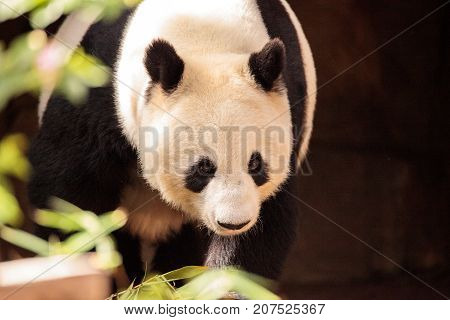 Giant Panda Bear Known As Ailuropoda Melanoleuca