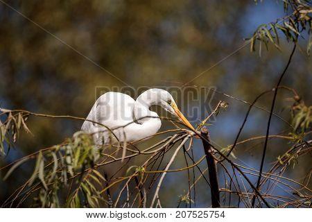 Great Egret Bird, Ardea Alba