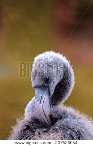 Grey Juvenile Young American Flamingo, Phoenicopterus Ruber