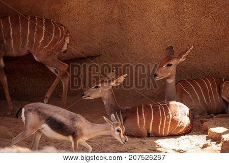 Lesser Kudu Called Tragelaphus Imberbis