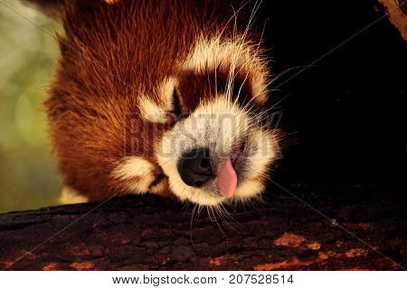 Red Panda Ailurus Fulgens Forages