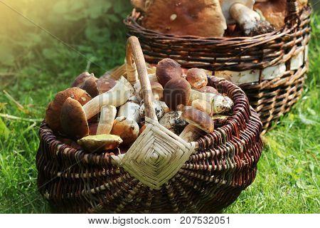 Basket full of fresh boletus mushrooms in forest .