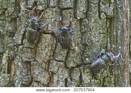 Beetle deer on the trunk of an oak tree.