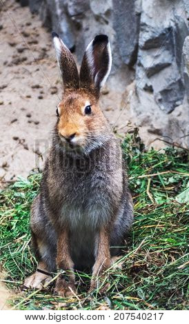 Portrait of a cute wild cottontail bunny rabbit sitting on the grass. Close Up wildlife.