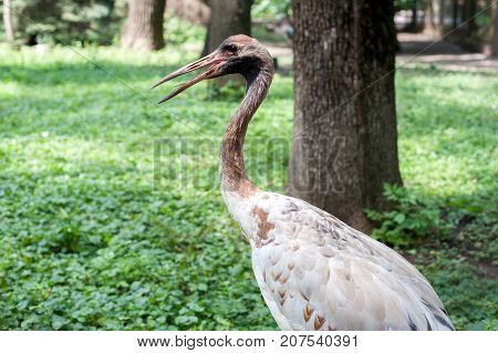 Crane with open beak on background of green grass