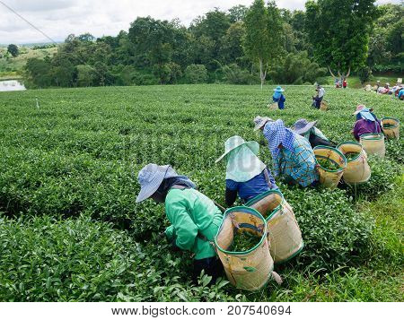 CHIANG RAI THAILAND - OCTOBER 06: Workers picks tea despite ongoing labor strikes on October 06 2017 in Chiang rai Thailand.