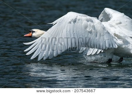 A Mute Swan Landing On The Water