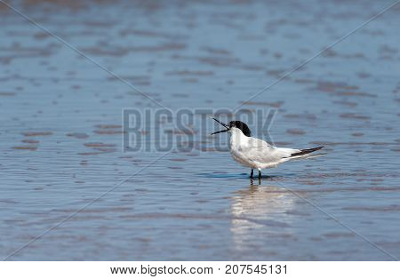 A Sandwich Tern Standing On The Beach With An Open Beak