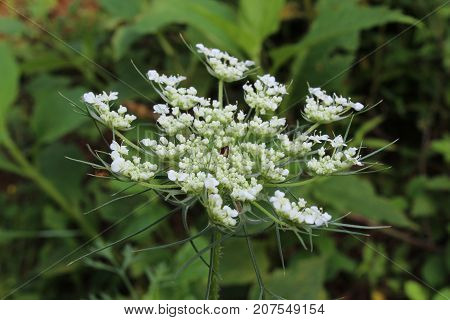 Queen Anne's Lace white American wildflower blossom, horizontal aspect