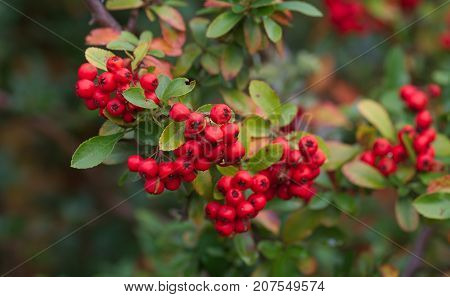 fresh Sorbus aucuparia berries on a branch