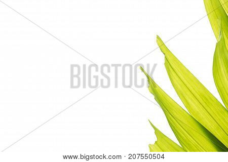 Isolated sealing wax palm (Cyrtostachys renda) leaves white background