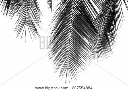 white and black coconut palms leaf on white background