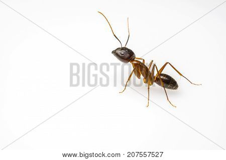 close up ant isolated on white background and copy space for text