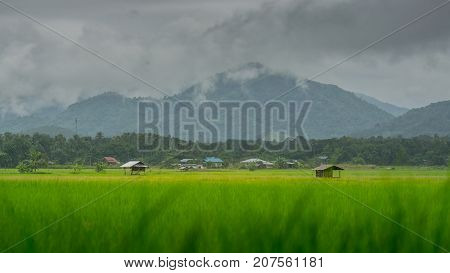 asian rice fields and farmer hut in rainy season cultivation in the Thailand country. farm land