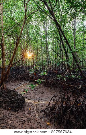 Mangrove Forest, Krabi, Thailand