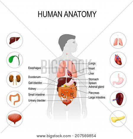 human anatomy. Medical poster with internal organs on white background. silhouette of a man. vector illustration. easy to edit