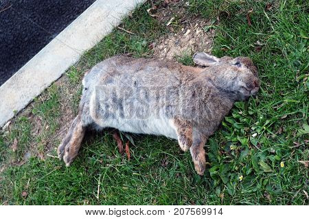 Roadkill. Dead rabbit at the side of a road.