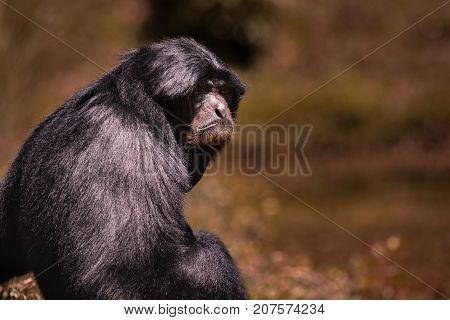 portrait face of siamang gibbon against blur background