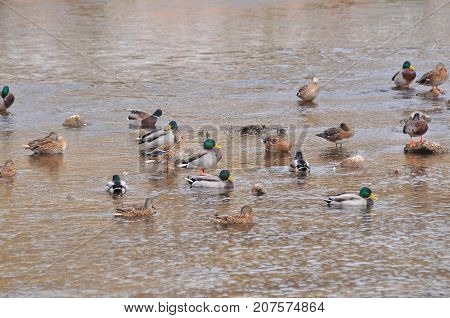 Flock of mallard duck in the river. Wild ducks rest in small river