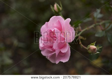Beautiful pink rose in the garden closeup background