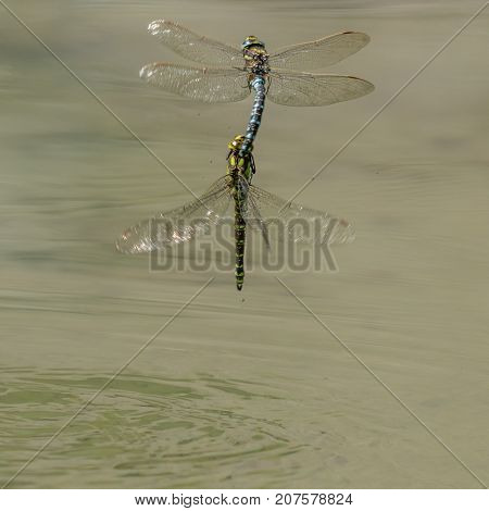 Two Dragon Flies Mating In Midair Above Water