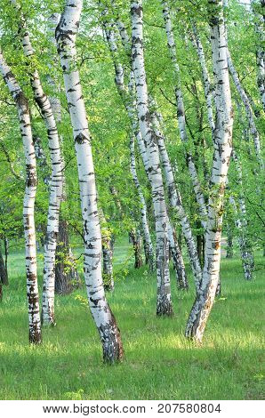 birch grove in the forest in the early morning tree trunks summer green foliage vertical composition