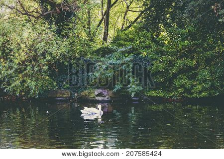 Pond With Swan And Deep Green Vegetation In Dublin