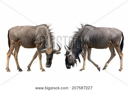 Set of two blue wildebeests portraits, isolated on white background