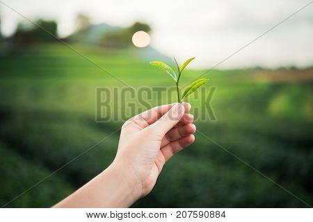 hand girl picking green tea leaf at the tea farm