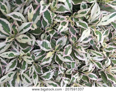 Detailed recording of a white green spindle herb very colorful